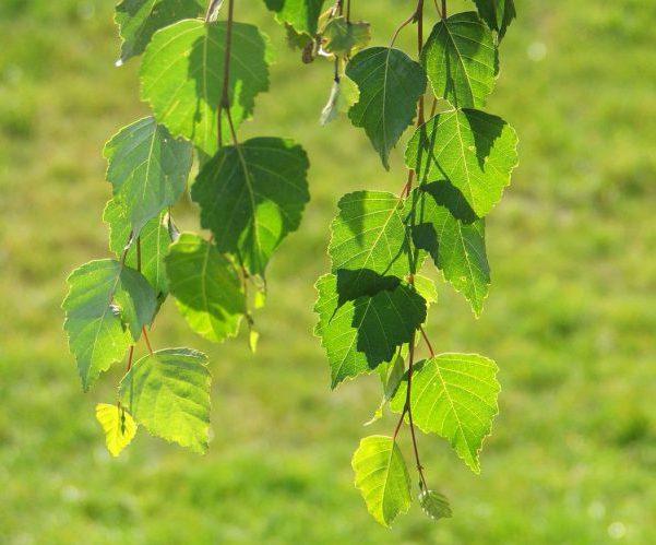 Береза листья